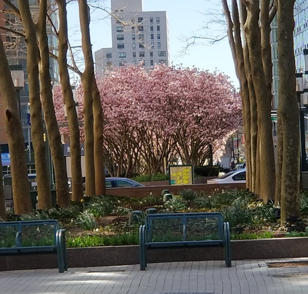 Cherry blossoms in The Commons at Metrotech