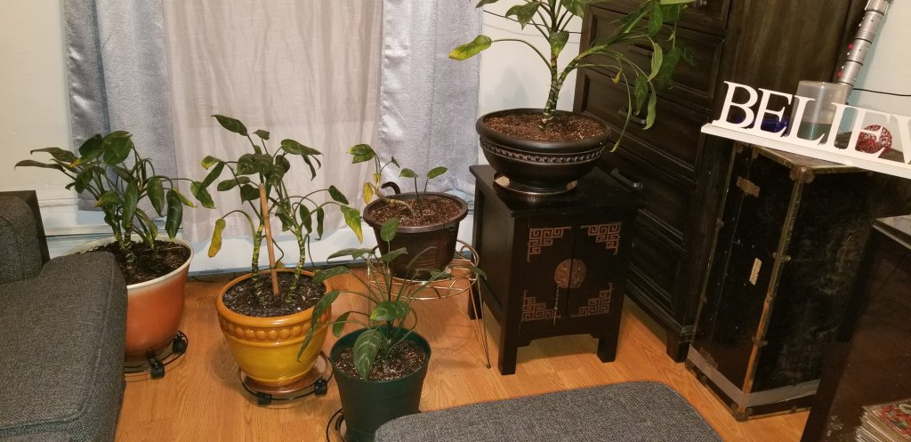 Five potted peace lily plants.